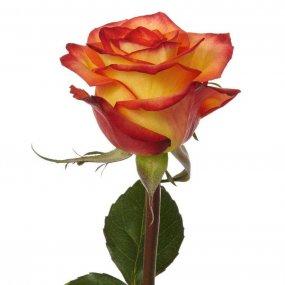 High & Magic Rose