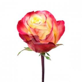 Hot Merengue Rose