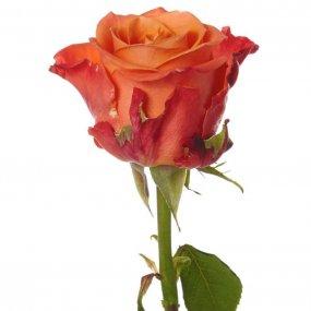 Orange Crush Rose
