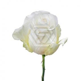 Proud Rose