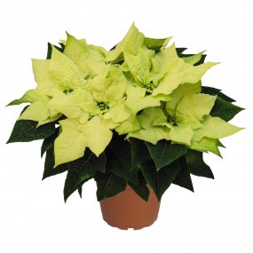Green Envy Poinsettia